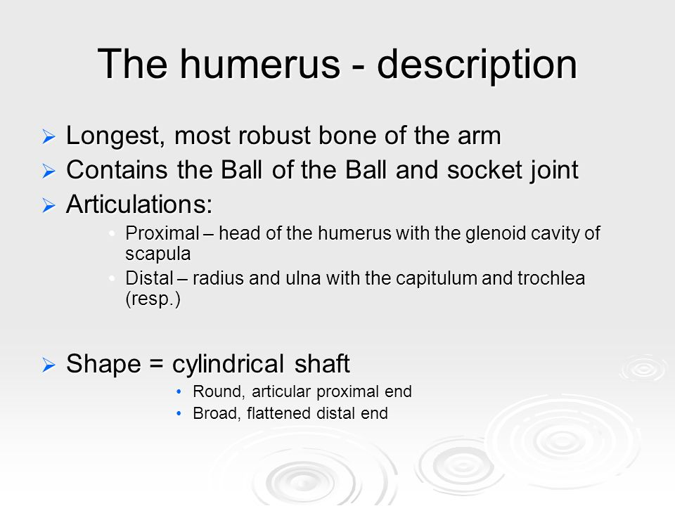 The humerus - description  Longest, most robust bone of the arm  Contains the Ball of the Ball and socket joint  Articulations: Proximal – head of the humerus with the glenoid cavity of scapulaProximal – head of the humerus with the glenoid cavity of scapula Distal – radius and ulna with the capitulum and trochlea (resp.)Distal – radius and ulna with the capitulum and trochlea (resp.)  Shape = cylindrical shaft Round, articular proximal endRound, articular proximal end Broad, flattened distal endBroad, flattened distal end