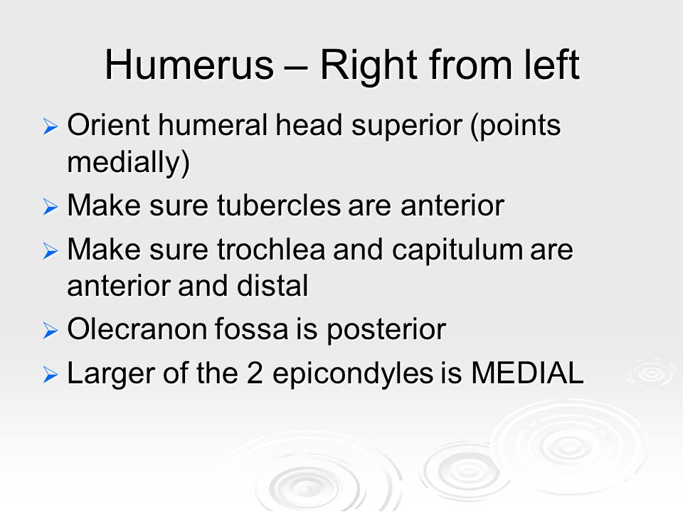 Humerus – Right from left  Orient humeral head superior (points medially)  Make sure tubercles are anterior  Make sure trochlea and capitulum are anterior and distal  Olecranon fossa is posterior  Larger of the 2 epicondyles is MEDIAL