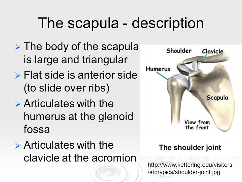 The radius - description  Lateral to the ulna, more robust  Responsible for ROTATION