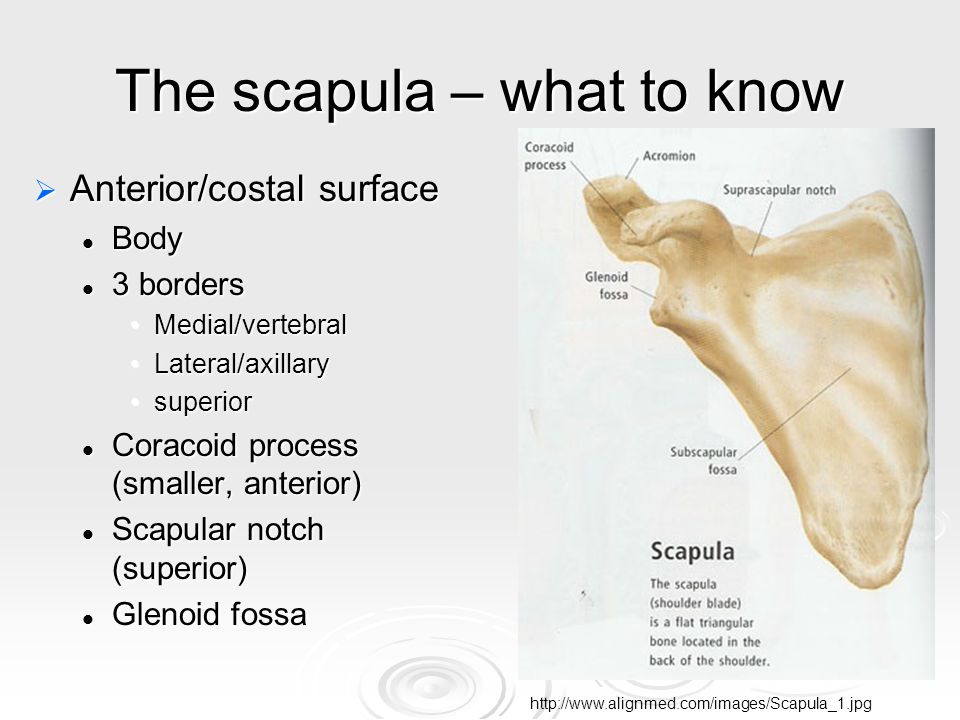 The scapula – what to know  Anterior/costal surface Body Body 3 borders 3 borders Medial/vertebralMedial/vertebral Lateral/axillaryLateral/axillary superiorsuperior Coracoid process (smaller, anterior) Coracoid process (smaller, anterior) Scapular notch (superior) Scapular notch (superior) Glenoid fossa Glenoid fossa http://www.alignmed.com/images/Scapula_1.jpg