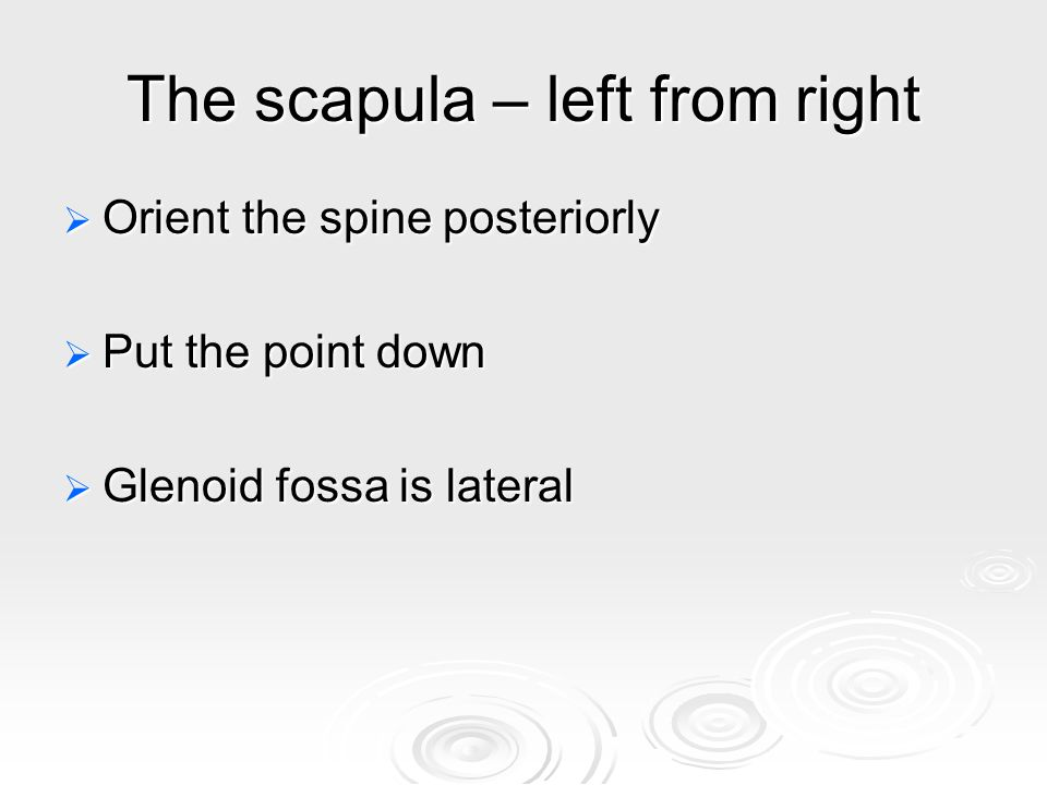 The scapula – left from right  Orient the spine posteriorly  Put the point down  Glenoid fossa is lateral