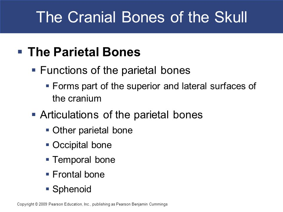 Copyright © 2009 Pearson Education, Inc., publishing as Pearson Benjamin Cummings The Cranial Bones of the Skull  The Parietal Bones  Functions of the parietal bones  Forms part of the superior and lateral surfaces of the cranium  Articulations of the parietal bones  Other parietal bone  Occipital bone  Temporal bone  Frontal bone  Sphenoid