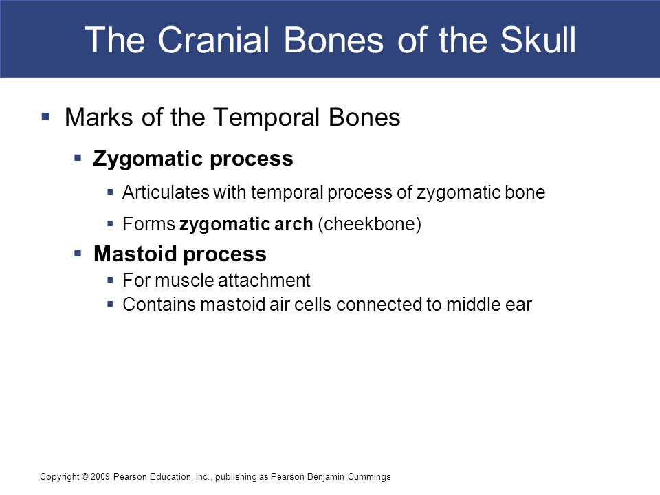 Copyright © 2009 Pearson Education, Inc., publishing as Pearson Benjamin Cummings The Cranial Bones of the Skull  Marks of the Temporal Bones  Zygomatic process  Articulates with temporal process of zygomatic bone  Forms zygomatic arch (cheekbone)  Mastoid process  For muscle attachment  Contains mastoid air cells connected to middle ear