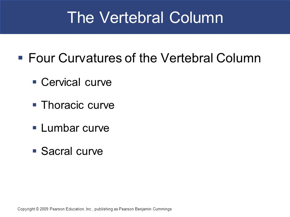 Copyright © 2009 Pearson Education, Inc., publishing as Pearson Benjamin Cummings The Vertebral Column  Four Curvatures of the Vertebral Column  Cervical curve  Thoracic curve  Lumbar curve  Sacral curve