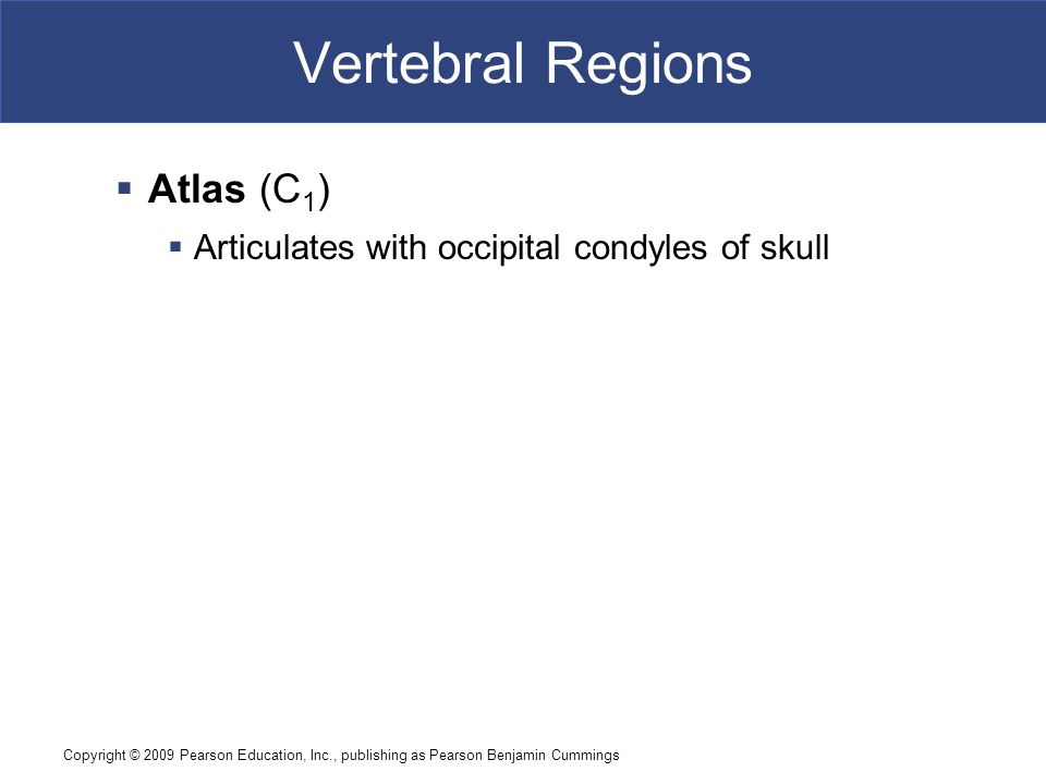 Copyright © 2009 Pearson Education, Inc., publishing as Pearson Benjamin Cummings Vertebral Regions  Atlas (C 1 )  Articulates with occipital condyles of skull