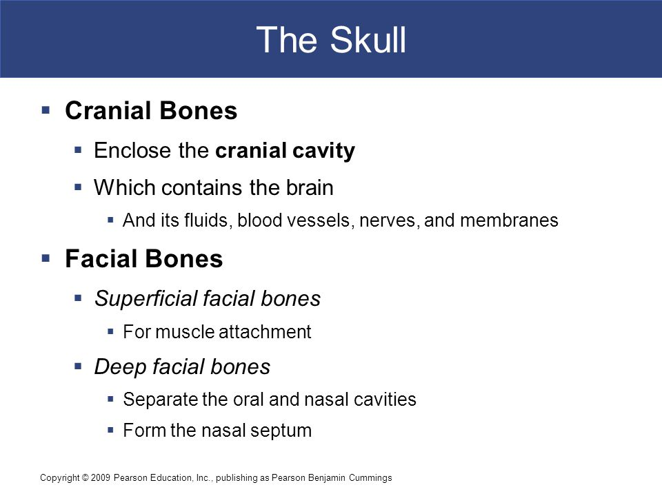 Copyright © 2009 Pearson Education, Inc., publishing as Pearson Benjamin Cummings The Cranial Bones of the Skull  Marks of the Temporal Bones  Styloid process  To attach tendons and ligaments of the hyoid, tongue, and pharynx  Petrous part  Encloses structures of the inner ear  Auditory ossicles  Three tiny bones in tympanic cavity (middle ear)  Transfer sound from tympanic membrane (eardrum) to inner ear