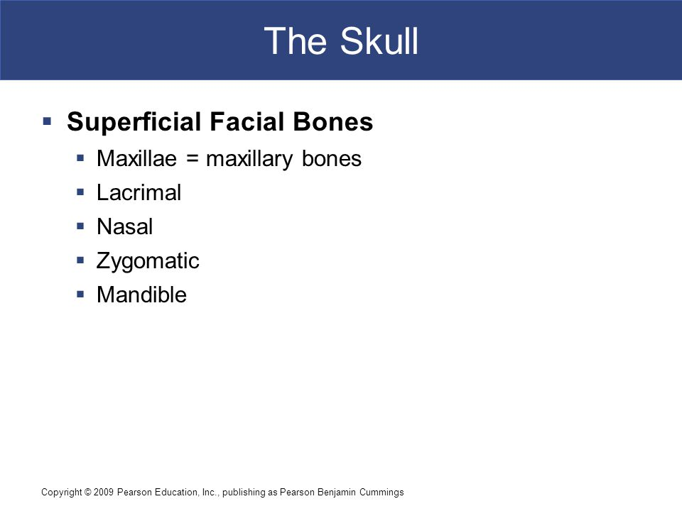Copyright © 2009 Pearson Education, Inc., publishing as Pearson Benjamin Cummings The Skull  Superficial Facial Bones  Maxillae = maxillary bones  Lacrimal  Nasal  Zygomatic  Mandible