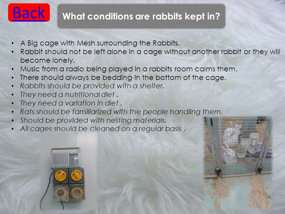 What conditions are rabbits kept in? Back A Big cage with Mesh surrounding the Rabbits. Rabbit should not be left alone in a cage without another rabb