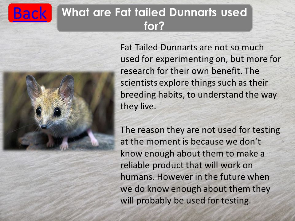 What are Fat tailed Dunnarts used for? Back Fat Tailed Dunnarts are not so much used for experimenting on, but more for research for their own benefit