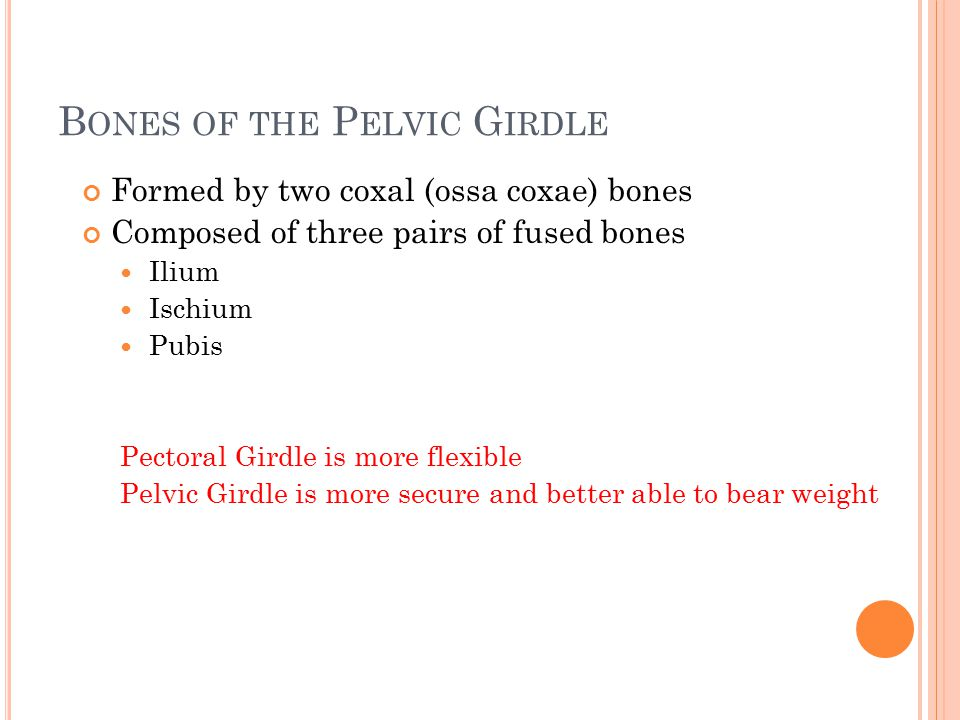 B ONES OF THE P ELVIC G IRDLE Formed by two coxal (ossa coxae) bones Composed of three pairs of fused bones Ilium Ischium Pubis Pectoral Girdle is more flexible Pelvic Girdle is more secure and better able to bear weight