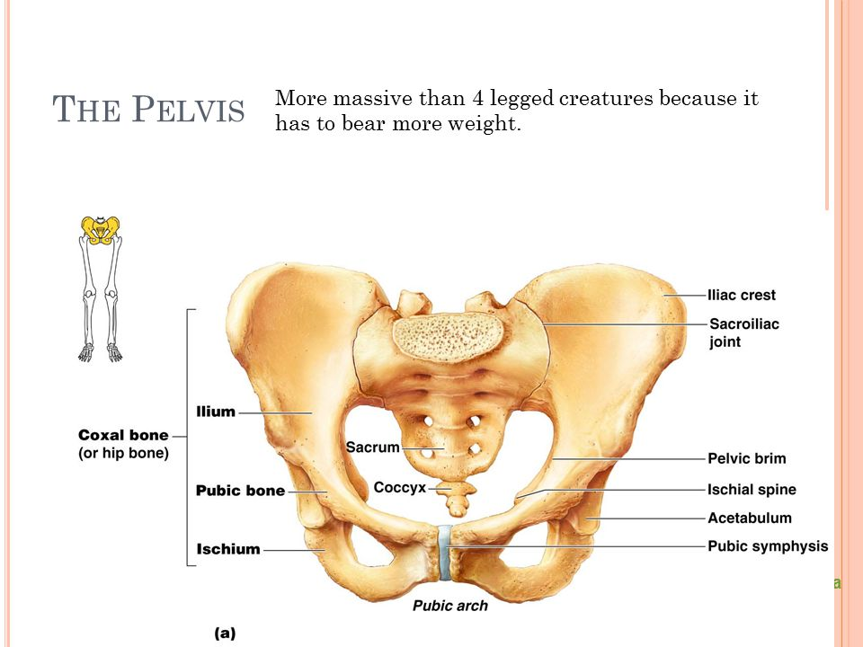 T HE P ELVIS Figure 5.24a More massive than 4 legged creatures because it has to bear more weight.