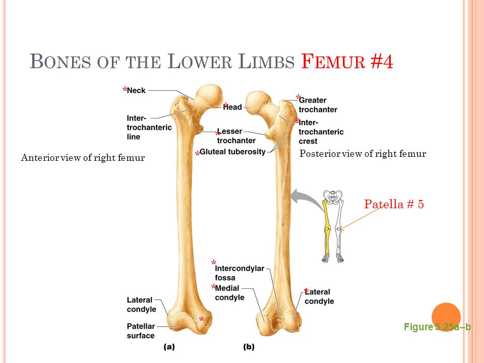 B ONES OF THE L OWER L IMBS F EMUR #4 Figure 5.25a–b * * * * * * * * * * Anterior view of right femur Posterior view of right femur Patella # 5