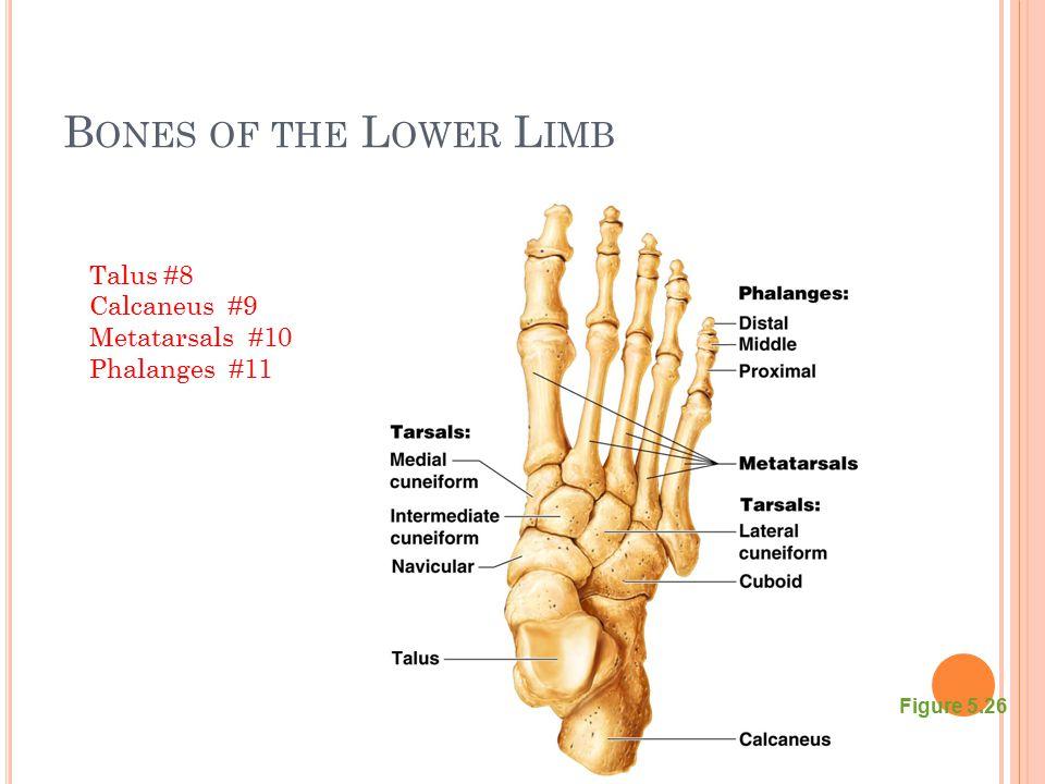B ONES OF THE L OWER L IMB Figure 5.26 Talus #8 Calcaneus #9 Metatarsals #10 Phalanges #11