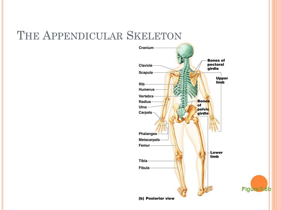 T HE A PPENDICULAR S KELETON Figure 5.6b
