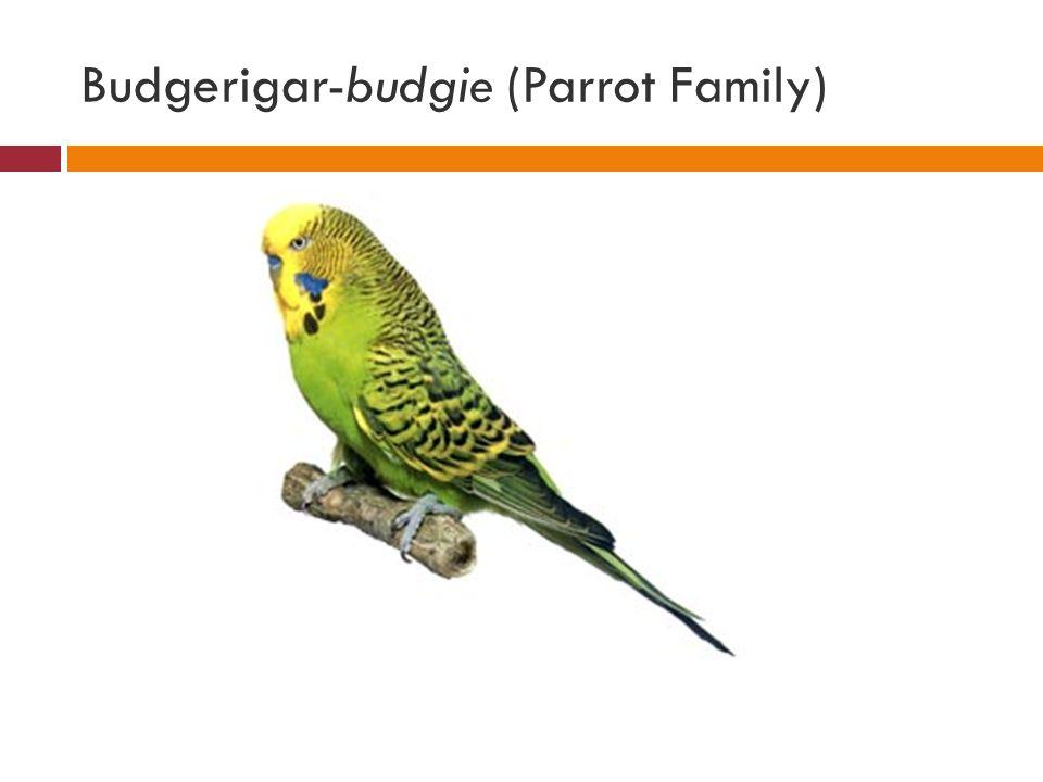 Budgerigar-budgie (Parrot Family)