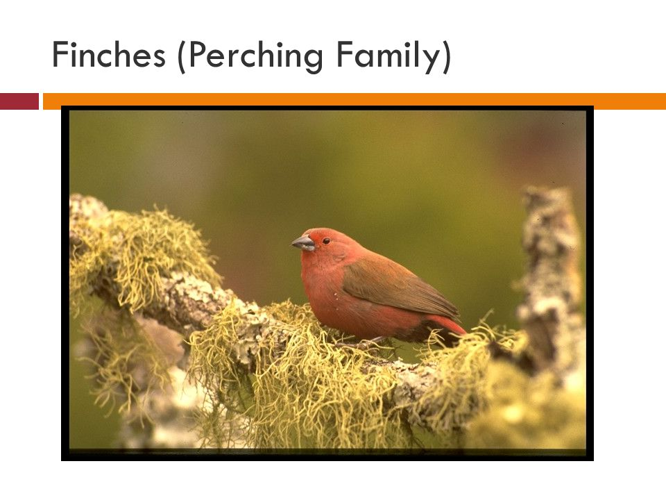 Finches (Perching Family)