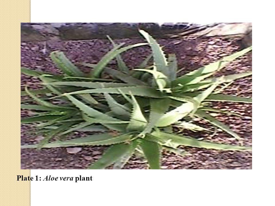 Plate 1: Aloe vera plant