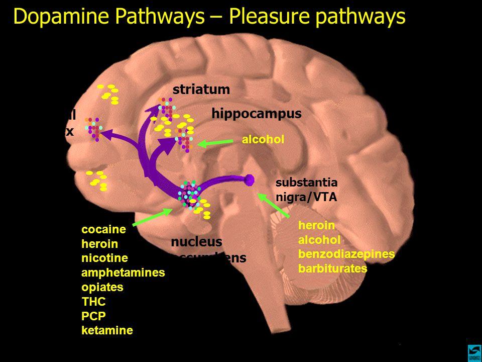 Dopamine Pathways – Pleasure pathways nucleus accumbens hippocampus striatum frontal cortex substantia nigra/VTA cocaine heroin nicotine amphetamines