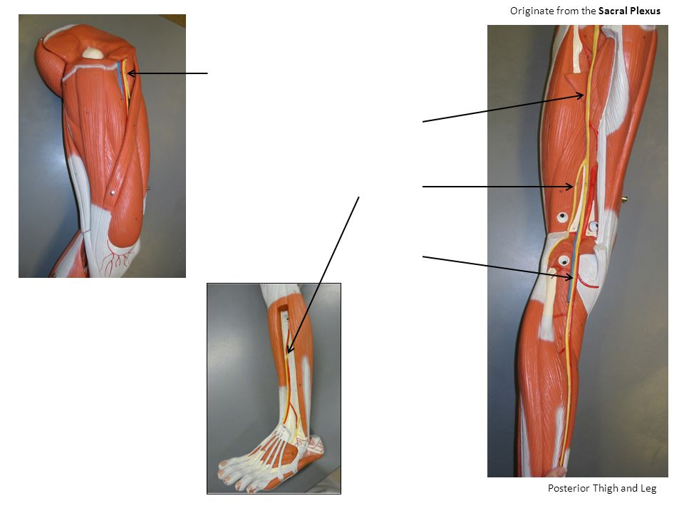 Posterior Thigh and Leg Originate from the Sacral Plexus