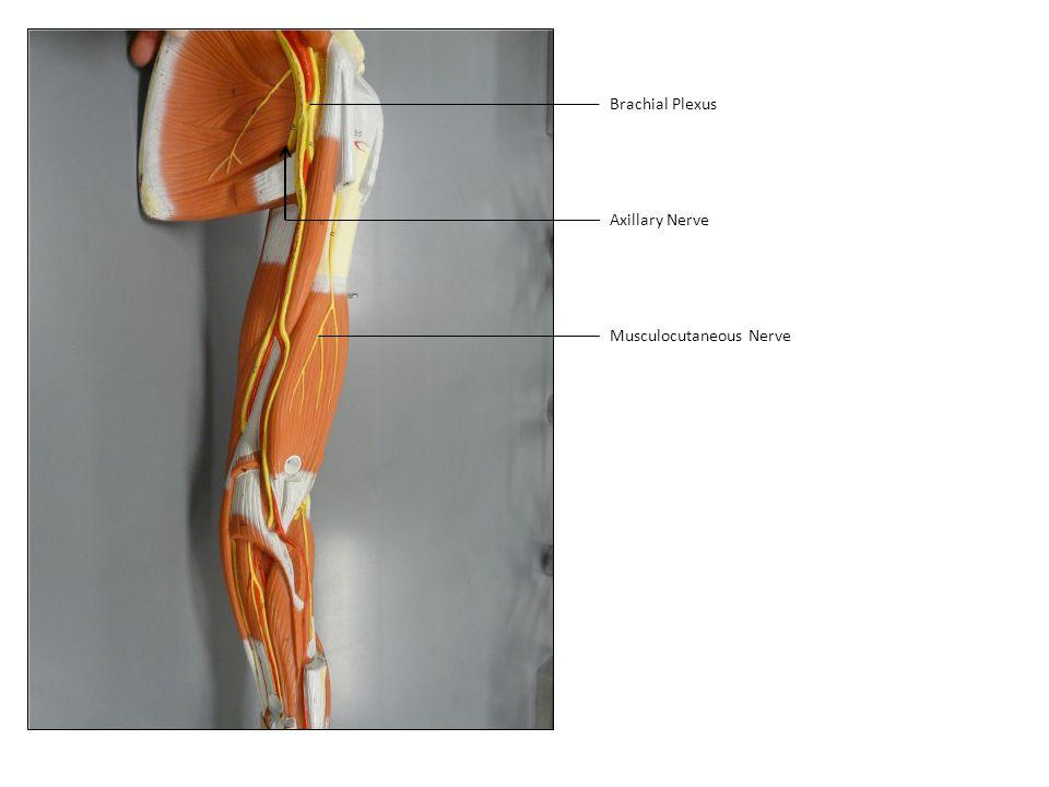 Brachial Plexus Axillary Nerve Musculocutaneous Nerve