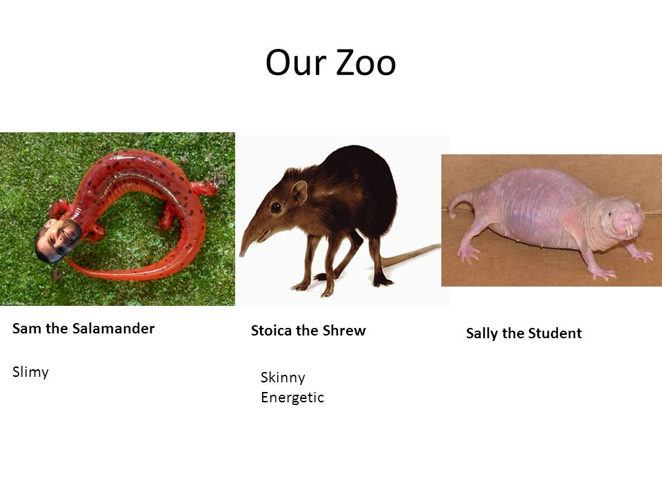 Our Zoo Stoica the Shrew Skinny Energetic Slimy Sally the Student Sam the Salamander