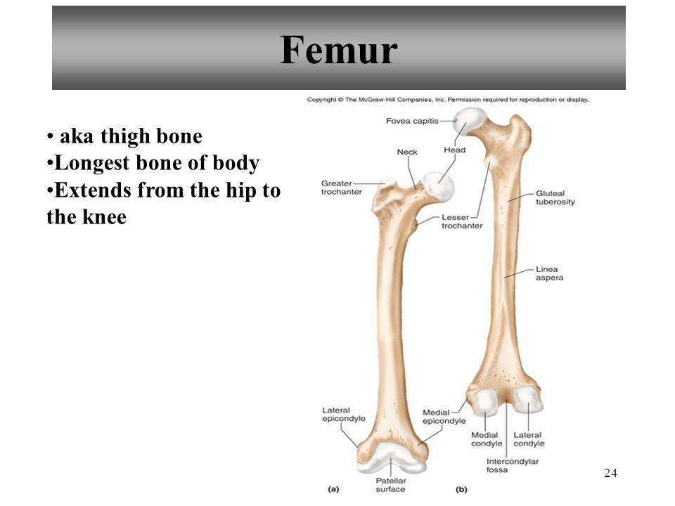 24 Femur aka thigh bone Longest bone of body Extends from the hip to the knee