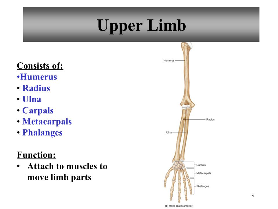 9 Upper Limb Consists of: Humerus Radius Ulna Carpals Metacarpals Phalanges Function: Attach to muscles to move limb parts