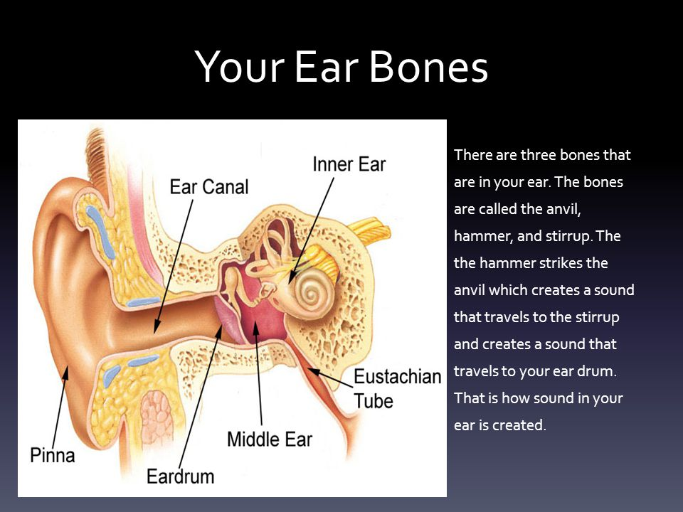Your Ear Bones There are three bones that are in your ear.