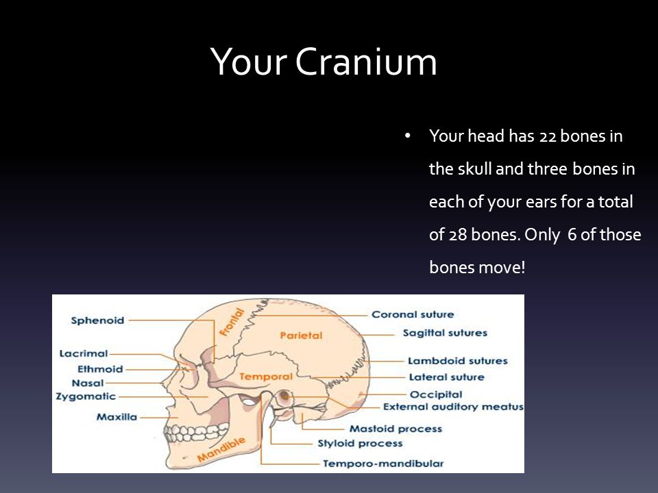 Your Cranium Your head has 22 bones in the skull and three bones in each of your ears for a total of 28 bones.