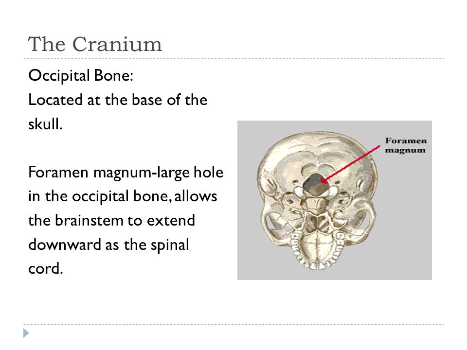The Cranium Occipital Bone: Located at the base of the skull. Foramen magnum-large hole in the occipital bone, allows the brainstem to extend downward