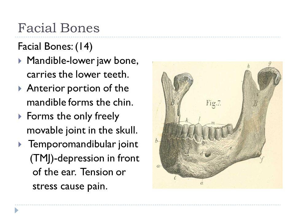 Facial Bones Facial Bones: (14)  Mandible-lower jaw bone, carries the lower teeth.  Anterior portion of the mandible forms the chin.  Forms the onl