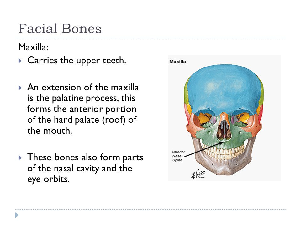 Facial Bones Maxilla:  Carries the upper teeth.  An extension of the maxilla is the palatine process, this forms the anterior portion of the hard pa