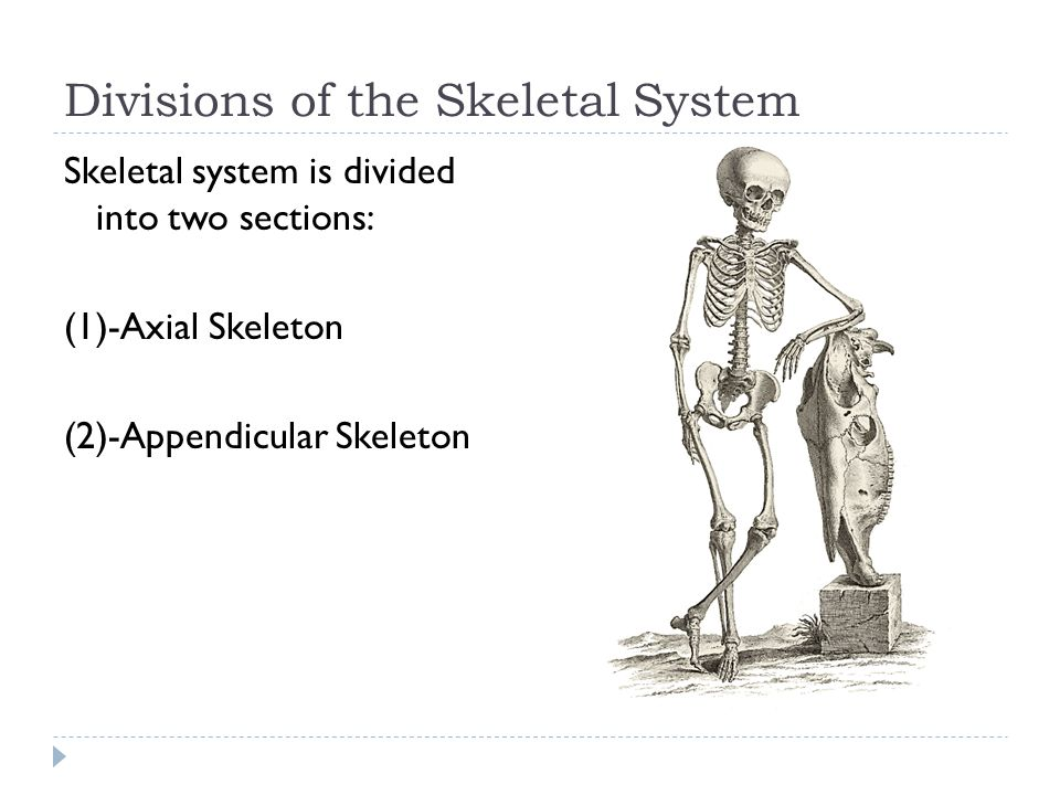 Divisions of the Skeletal System Skeletal system is divided into two sections: (1)-Axial Skeleton (2)-Appendicular Skeleton