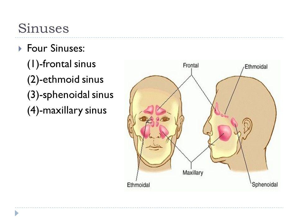 Sinuses  Four Sinuses: (1)-frontal sinus (2)-ethmoid sinus (3)-sphenoidal sinus (4)-maxillary sinus