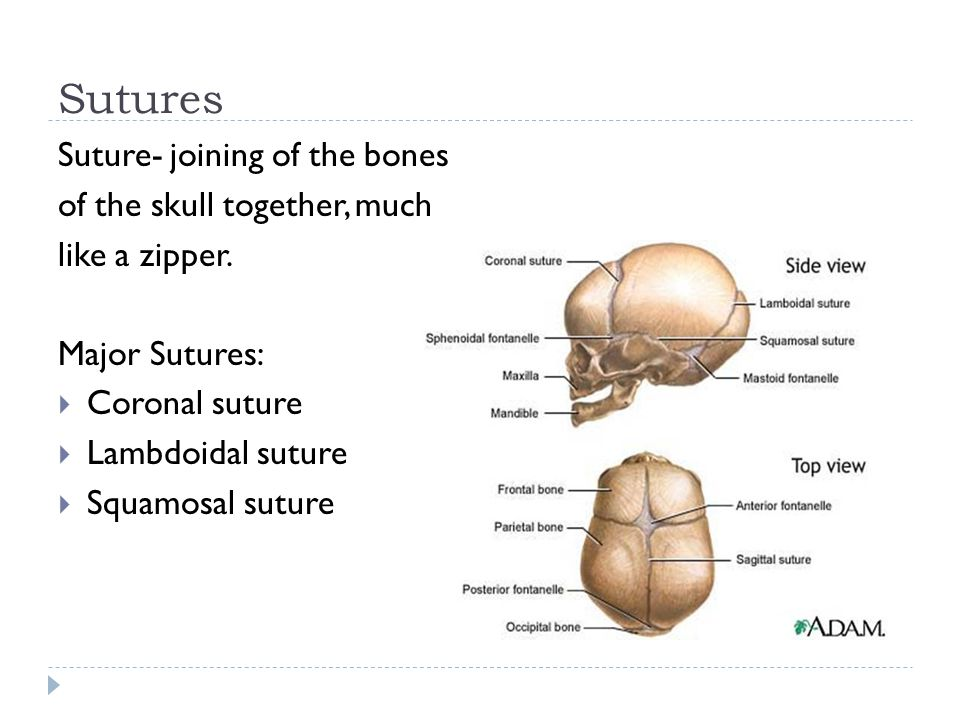 Sutures Suture- joining of the bones of the skull together, much like a zipper. Major Sutures:  Coronal suture  Lambdoidal suture  Squamosal suture