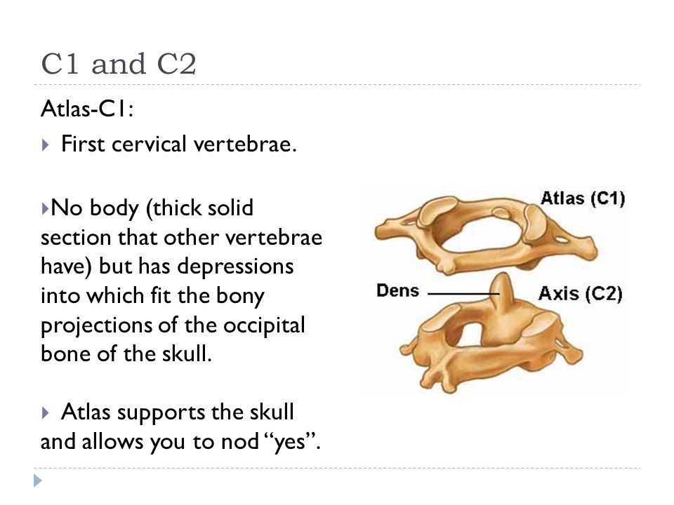 C1 and C2 Atlas-C1:  First cervical vertebrae.  No body (thick solid section that other vertebrae have) but has depressions into which fit the bony