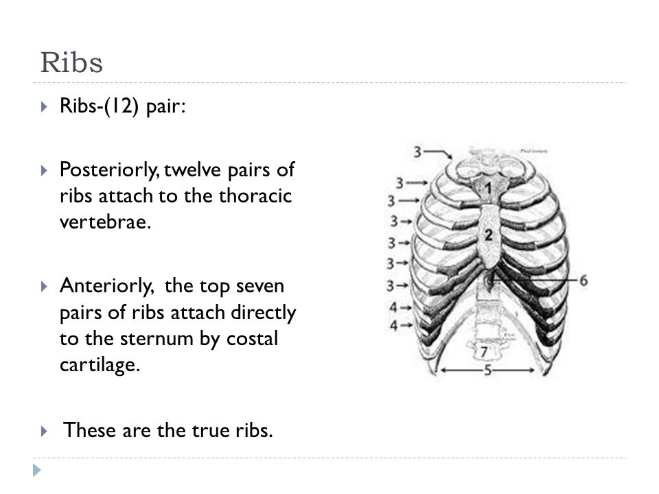 Ribs  Ribs-(12) pair:  Posteriorly, twelve pairs of ribs attach to the thoracic vertebrae.  Anteriorly, the top seven pairs of ribs attach directly