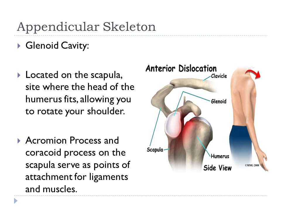 Appendicular Skeleton  Glenoid Cavity:  Located on the scapula, site where the head of the humerus fits, allowing you to rotate your shoulder.  Acr