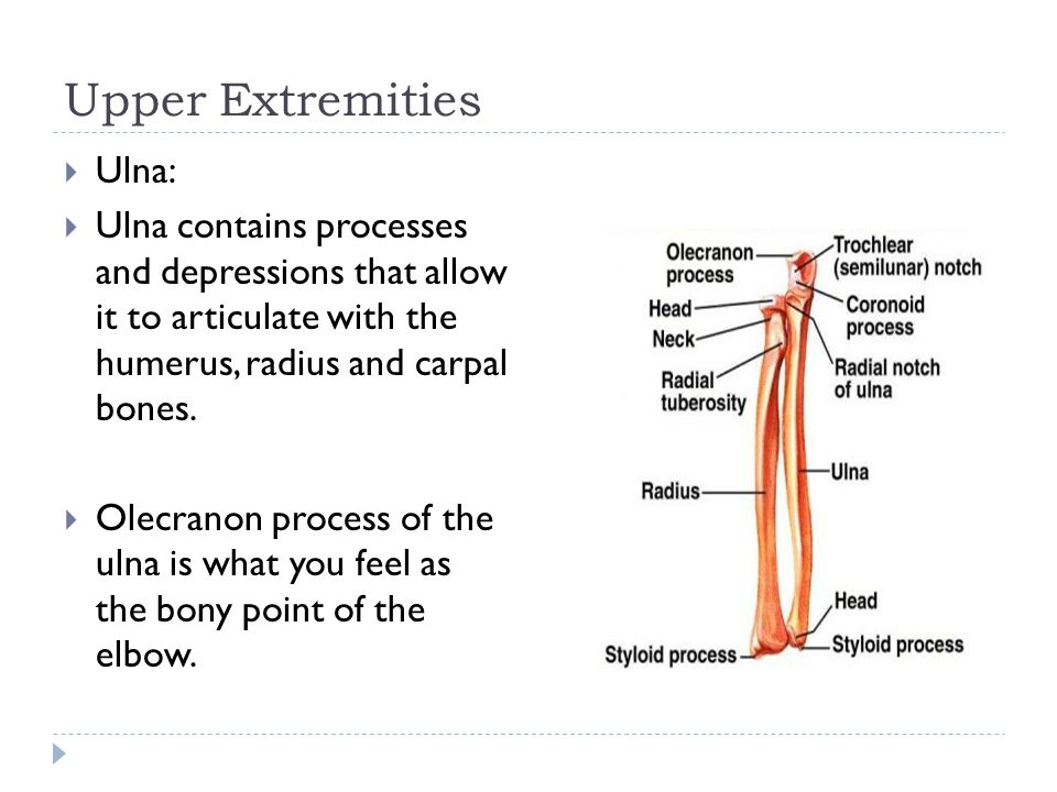 Upper Extremities  Ulna:  Ulna contains processes and depressions that allow it to articulate with the humerus, radius and carpal bones.  Olecranon