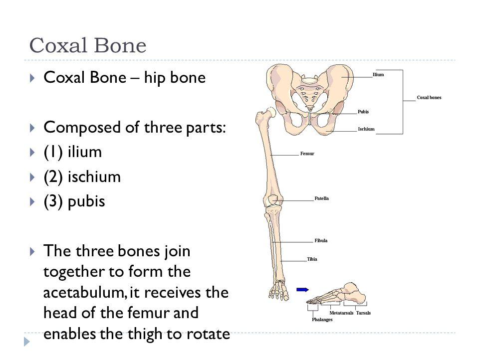 Coxal Bone  Coxal Bone – hip bone  Composed of three parts:  (1) ilium  (2) ischium  (3) pubis  The three bones join together to form the acetab