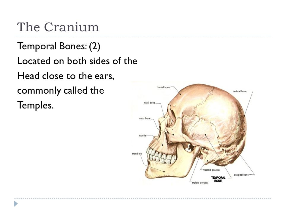 The Cranium Temporal Bones: (2) Located on both sides of the Head close to the ears, commonly called the Temples.