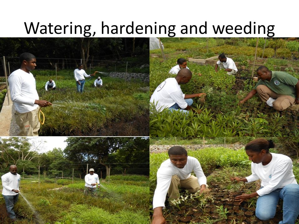 Watering, hardening and weeding