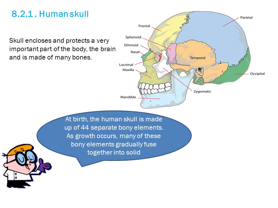 8.2.1. Human skull Skull encloses and protects a very important part of the body, the brain and is made of many bones. At birth, the human skull is ma