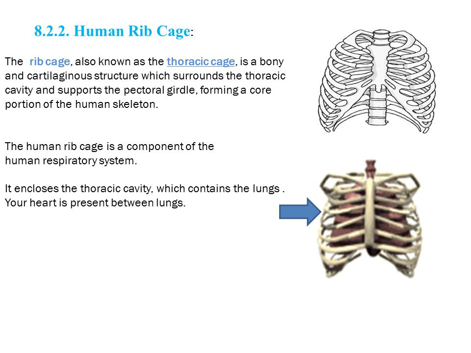 8.2.2. Human Rib Cage : The rib cage, also known as the thoracic cage, is a bony and cartilaginous structure which surrounds the thoracic cavity and s
