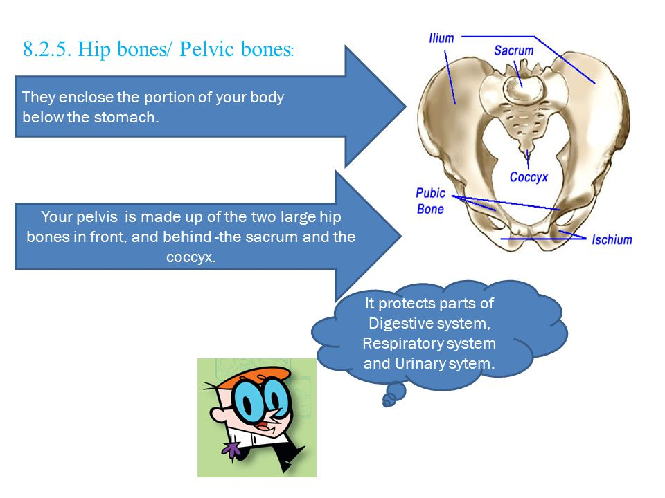 8.2.5. Hip bones/ Pelvic bones : They enclose the portion of your body below the stomach. Your pelvis is made up of the two large hip bones in front,