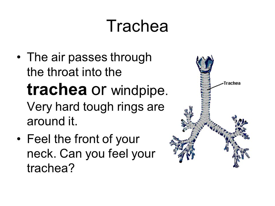 Trachea The air passes through the throat into the trachea or windpipe.