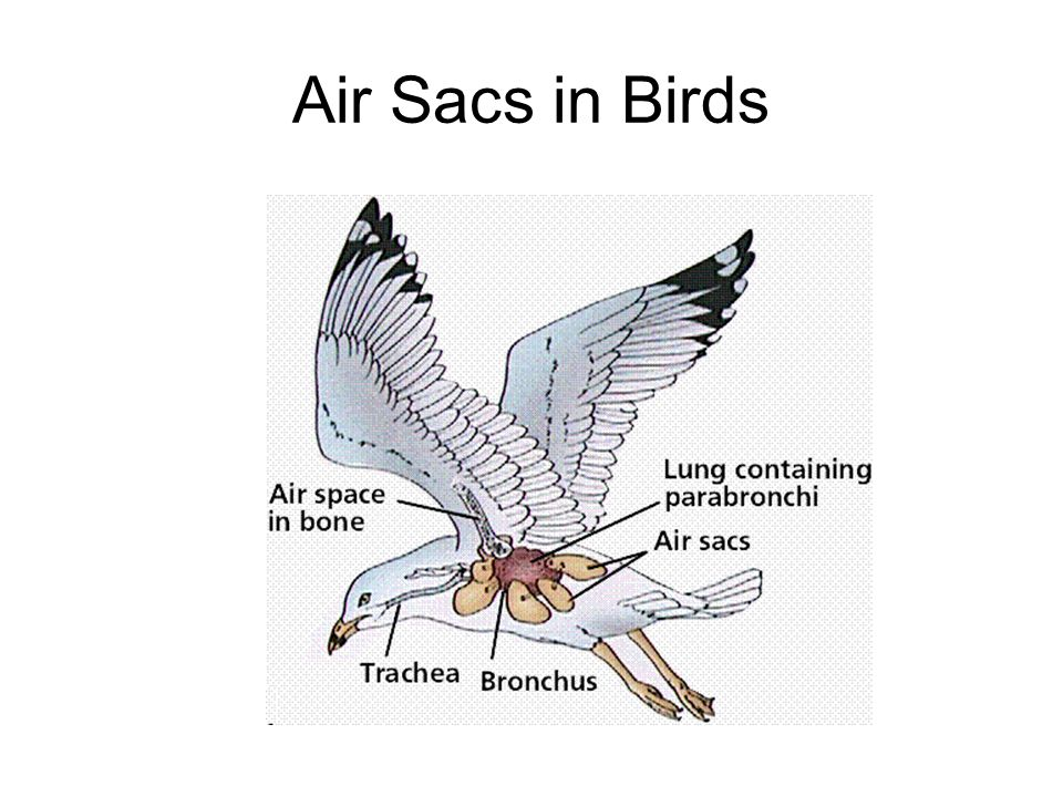 Air Sacs in Birds