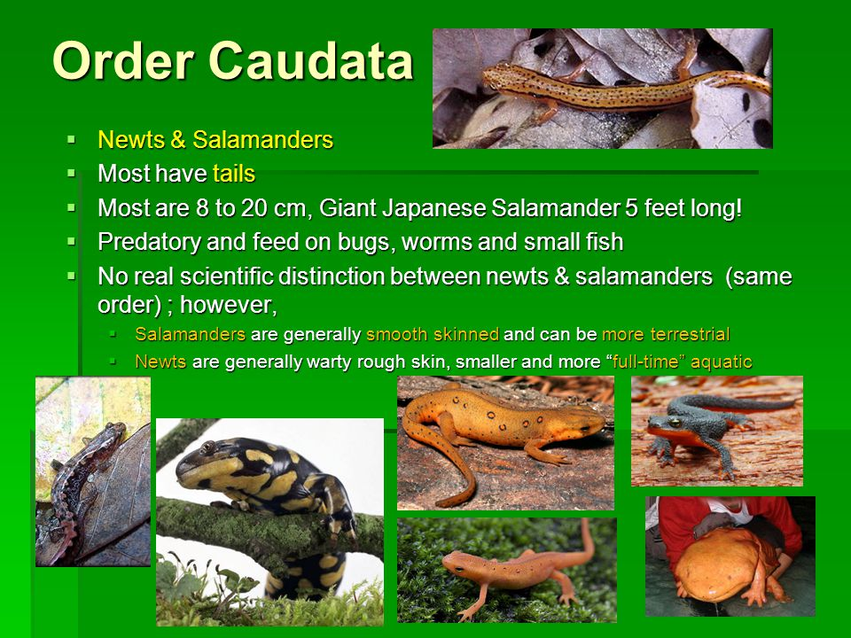 Order Caudata  Newts & Salamanders  Most have tails  Most are 8 to 20 cm, Giant Japanese Salamander 5 feet long.