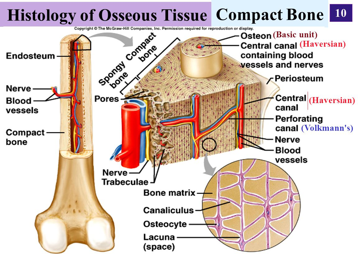 10 Histology of Osseous Tissue Compact Bone (Haversian) (Volkmann's) (Haversian) (Basic unit)