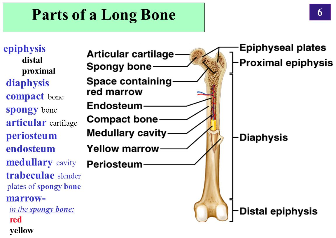 6 Parts of a Long Bone epiphysis distal proximal diaphysis compact bone spongy bone articular cartilage periosteum endosteum medullary cavity trabecul